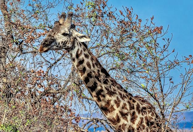 Piękne ujęcie ślicznej żyrafy z drzewami