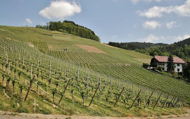 Piękne ujęcie słonecznej, pagórkowatej zielonych winnic przed zbiorami w mieście kappelrodeck