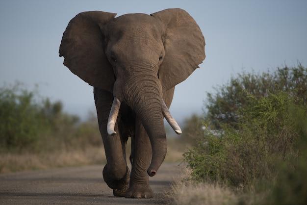 Piękne ujęcie słonia afrykańskiego idącego drogą z rozmytym tłem