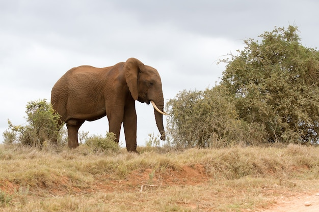 Piękne ujęcie słonia afrykańskiego idącego w suchym polu