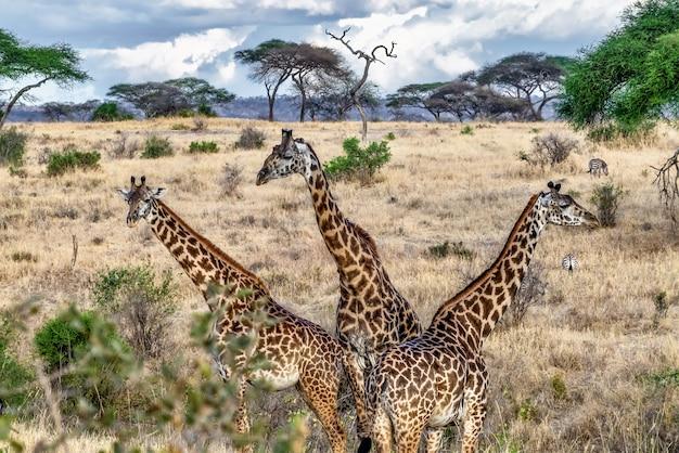 Piękne ujęcie trzech uroczych żyraf w polu z drzewami i błękitne niebo