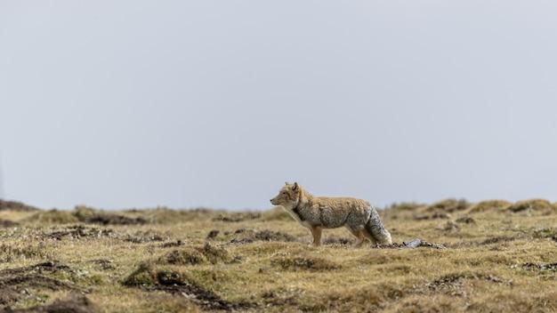 Piękne ujęcie tybetańskiego lisa piaskowego w suchym środowisku