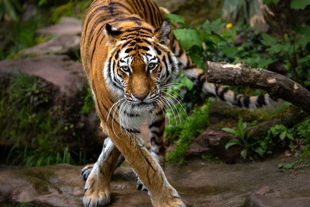 Piękne ujęcie tygrysa stojącego w lesie w ciągu dnia