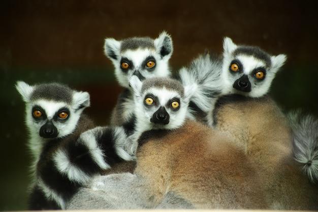 Piękne ujęcie uroczych lemurów ogoniastych, wpatrujących się intensywnie