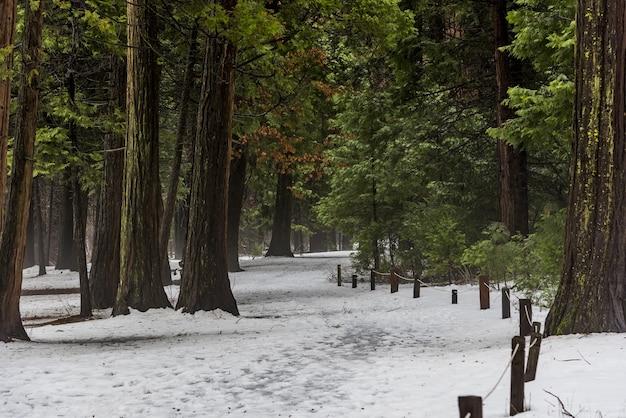 Piękne ujęcie wysokich drzew ze śniegiem na ziemi w parku narodowym yosemite
