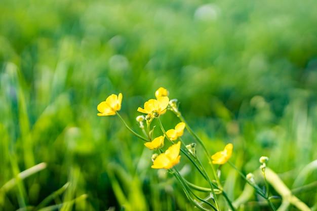 Piękne ujęcie żółte kwiaty polne w ogrodzie