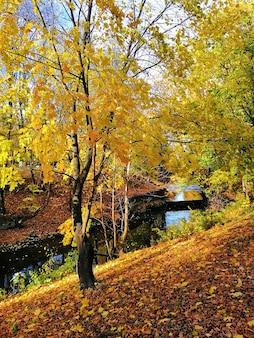 Piękne ujęcie żółtego drzewa otoczonego pomarańczowymi i żółtymi liśćmi w stargardzie, polska.