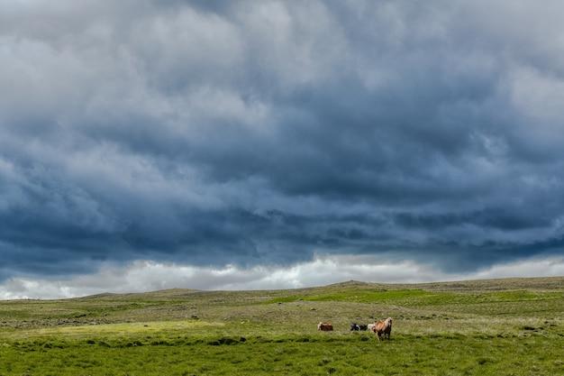 Piękne ujęcie zwierząt pasących się na zielonym polu pod zachmurzonym niebem