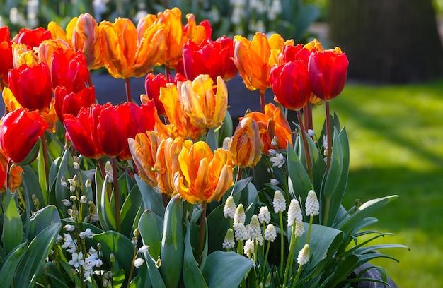 Piękne Wielobarwne Tulipany I Białe Kwiaty Na Wiosennym Kwietniku. Premium Zdjęcia