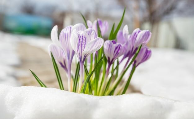 Piękne wiosenne krokusy z bliska