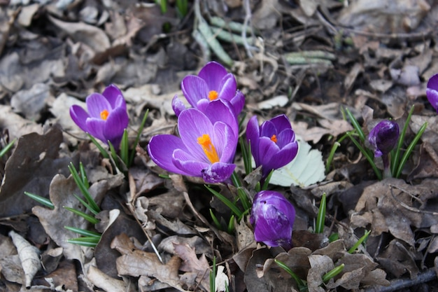 Piękne wiosenne kwiaty o fioletowych płatkach otoczone suchymi liśćmi