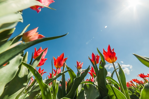 Piękne wiosenne kwiaty tulipanów na niebieskim niebie