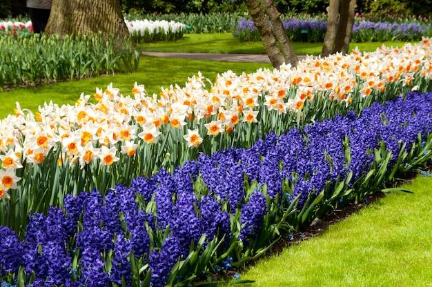Piękne wiosenne kwiaty w parku keukenhof w holandii (holandia)