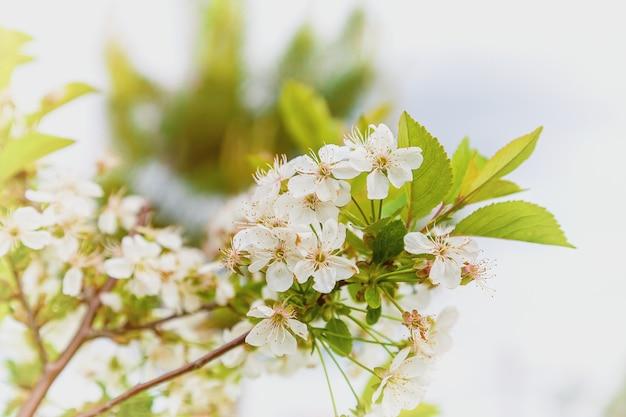 Piękne wiosenne kwiaty wiśni. kwitnące drzewo brunch z białymi kwiatami w jasny, słoneczny dzień.