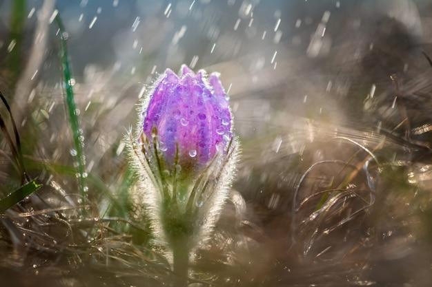 Piękne wiosenne pateny pulsatilla w wiosennym deszczu. krople wody na kwiatach