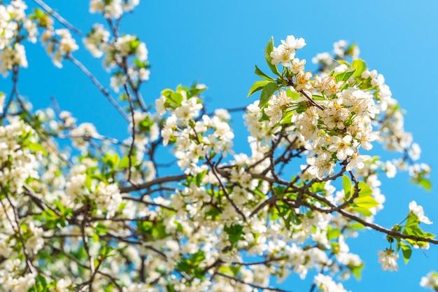 Piękne wiosenne tło z kwitnącą jabłonią