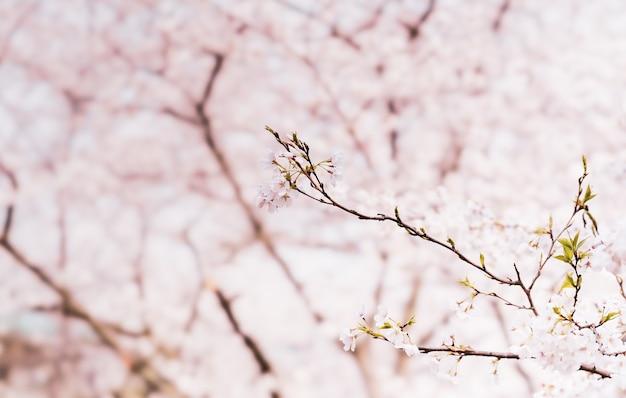 Piękne wiśniowe kwiaty na gałęzi