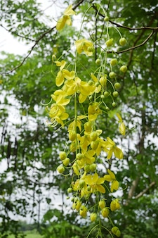 Piękne wiszące kwiaty drzewa złotokap. golden chain tree żółte kwiaty na wiosnę