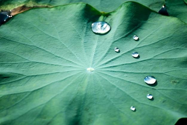 Piękne wodne kropelki na lotosowym liściu w basenie.