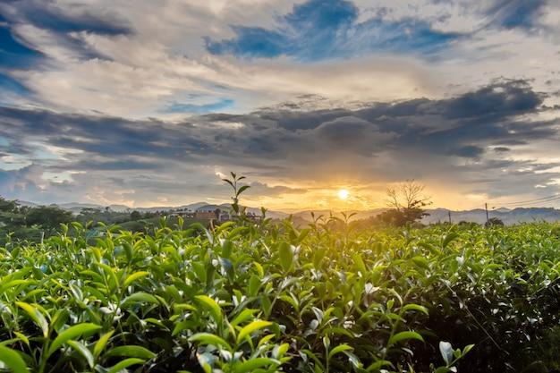 Piękne zachody słońca na plantacji herbaty chui fong chiang rai tajlandia.