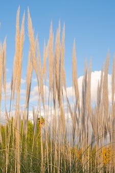 Piękne zbliżenie piór pampasowych posadzone w polu z niebieskim tłem nieba