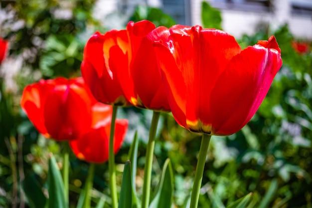 Piękne zdjęcia czerwonych kwiatów tulipanów w ogrodzie