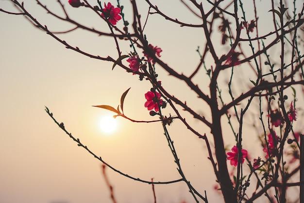 Piękne zdjęcia kwiatów wiśni pod zachodem słońca