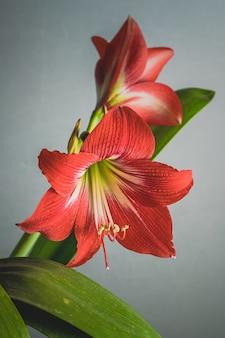 Piękne zdjęcia kwitnących czerwonych kwiatów lilii na białym tle