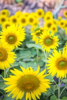 Piękne zdjęcia słonecznika i owada