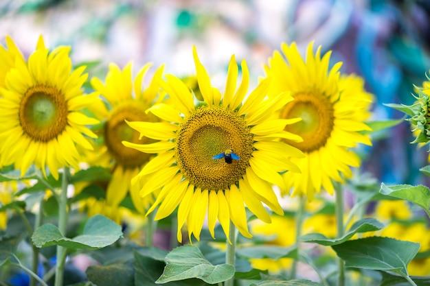 Piękne Zdjęcia Słonecznika I Owada Premium Zdjęcia