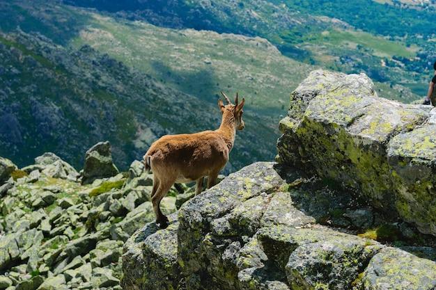 Piękne zdjęcie jelenia z białym ogonem w górach skalistych