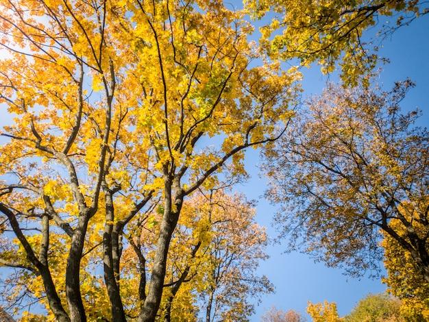 Piękne zdjęcie jesiennych drzew pokrytych żółtymi i czerwonymi liśćmi w lesie na tle błękitnego nieba