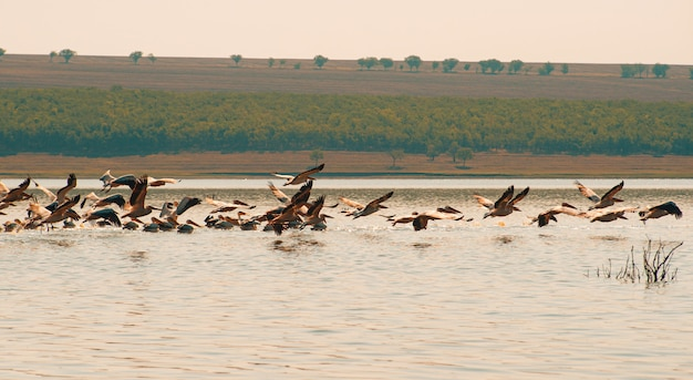 Piękne zdjęcie latających pelikanów nad jeziorem w europie wschodniej.