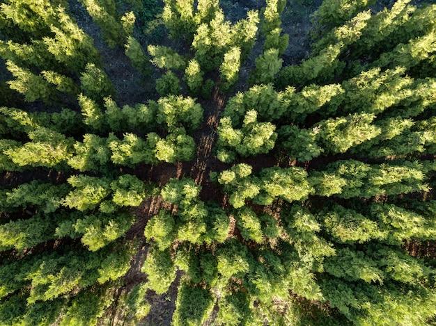 Piękne zdjęcie panoramiczne ze szczytów sosnowego lasu.