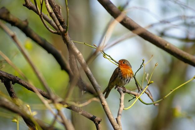 Piękne zdjęcie rudzika siedzącego na gałęzi