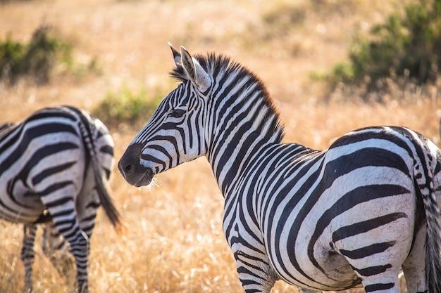Piękne zebry w parku narodowym masai mara, dzikie zwierzęta na sawannie. kenia