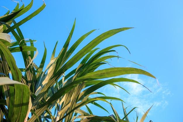 Piękne zielone drzewo trzcinowe na niebieskim niebie
