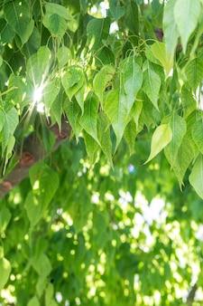 Piękne zielone liście i jasne słońce. miejsce w tle. magiczna natura, miejsce na tekst