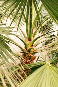 Piękne zielone liście palmowe rosnące dziko w tropikalnym miejscu z białą ścianą z tyłu