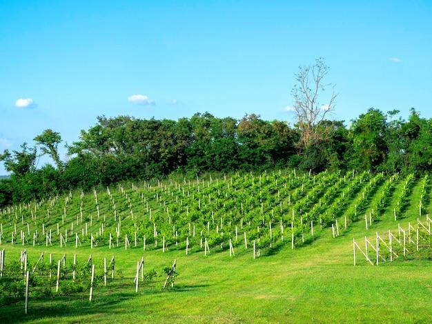 Piękne zielone pola winnic na wzgórzu na błękitnym niebie