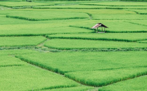 Piękne zielone pole ryżu tarasowego