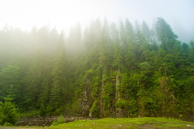 Piękne zielone sosny i rzeka w karpatach na ukrainie