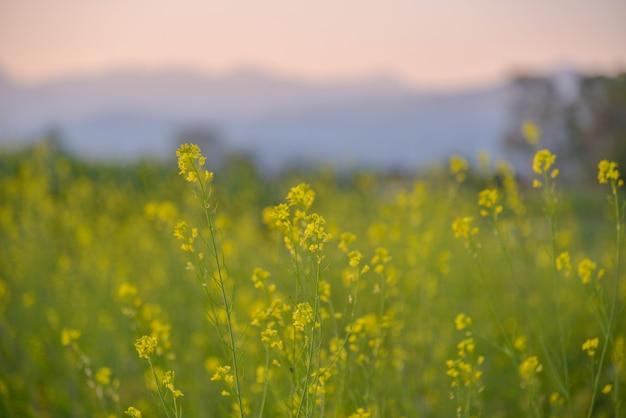 Piękne złote łąki z tłem góry zachód słońca