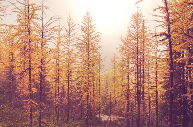 Piękne złote modrzewie w górach, kanada. jesień.
