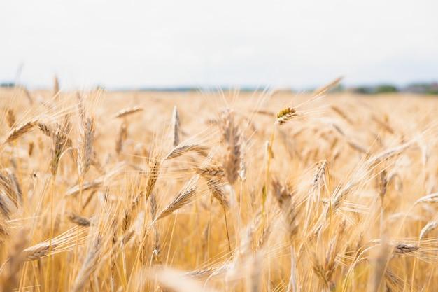 Piękne złote pole pszenicy w gorący letni dzień.