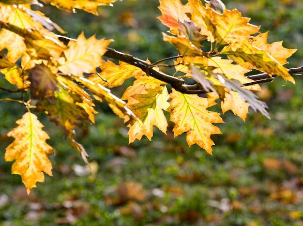 Piękne, zmieniające kolor liście dębu, jesienne cechy na przykładzie konkretnego drzewa.