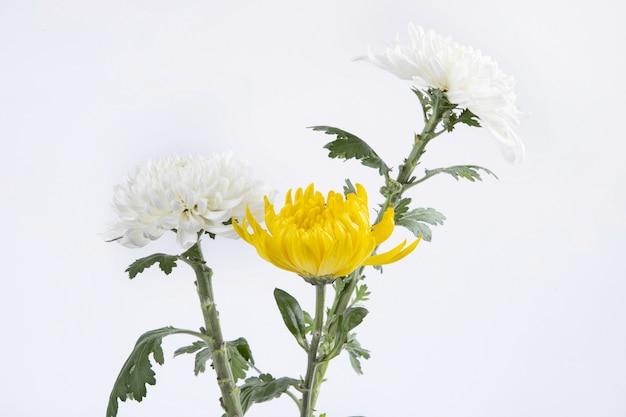 Piękne żółte i białe kwiaty chryzantemy