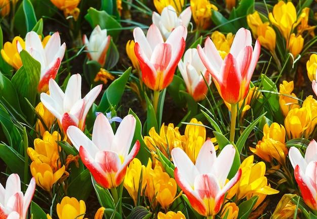 Piękne żółte krokusy i biało czerwone tulipany makro na wiosnę. tle przyrody.