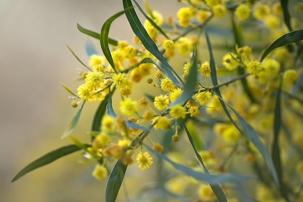 Piękne żółte kwiaty kwitnącego wiosennego drzewa w parku