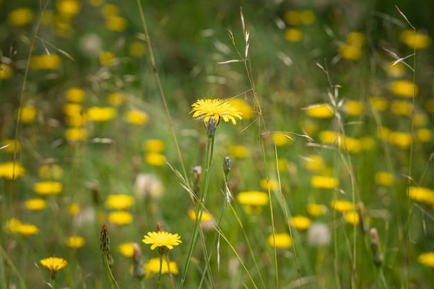 Piękne żółte kwiaty mniszka lekarskiego na polu